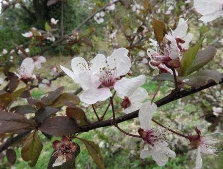 黒木の桜 048