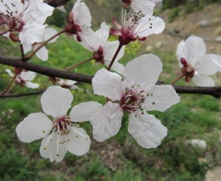 黒木の桜 051