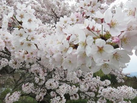 黒木の桜 074