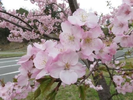 黒木の桜 071