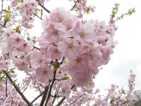 黒木の桜 066