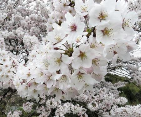 黒木の桜 072