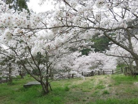 黒木の桜 113