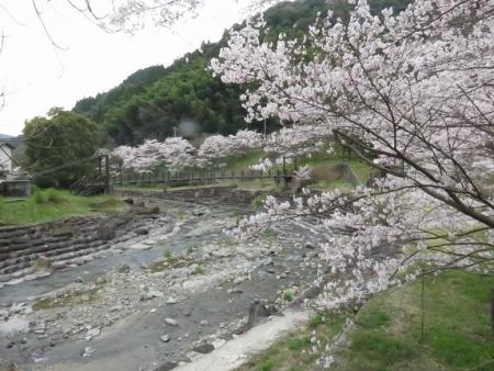 黒木の桜 117