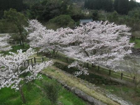 黒木の桜 106