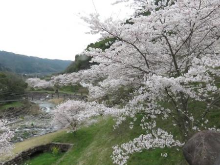 黒木の桜 100