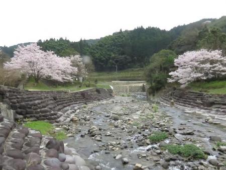 黒木の桜 123