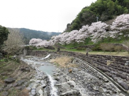 黒木の桜 185