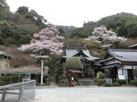 黒木の桜 328