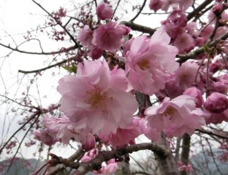 黒木の桜 361