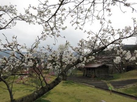 黒木の桜 357