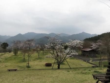 黒木の桜 355