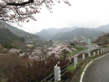 黒木の桜 387
