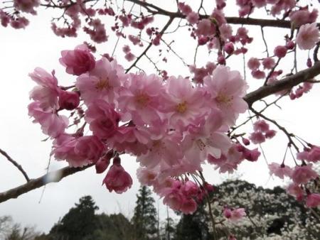 黒木の桜 376