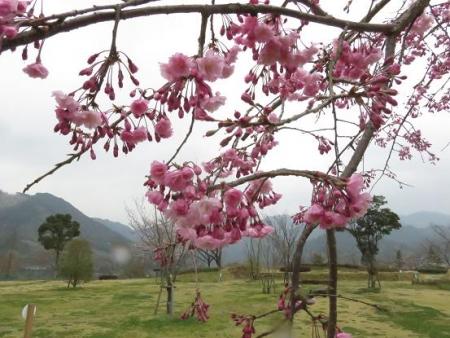 黒木の桜 362