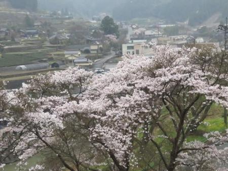黒木の桜 390