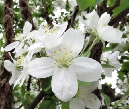 家に咲く花 ヒヨドリ 095