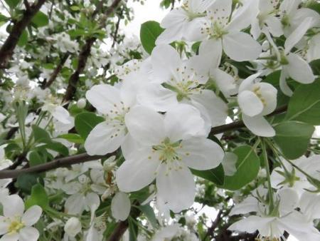 家に咲く花 ヒヨドリ 092