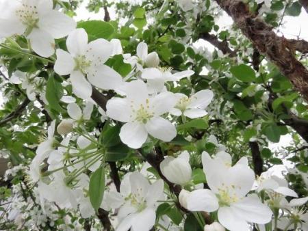家に咲く花 ヒヨドリ 096