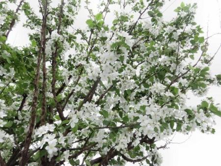家に咲く花 ヒヨドリ 097