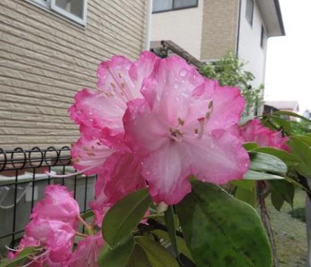 家に咲く花 ヒヨドリ 021