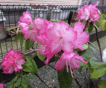家に咲く花 ヒヨドリ 025