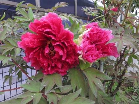 家に咲く花 ヒヨドリ 002