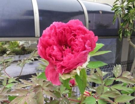 家に咲く花 ヒヨドリ 012