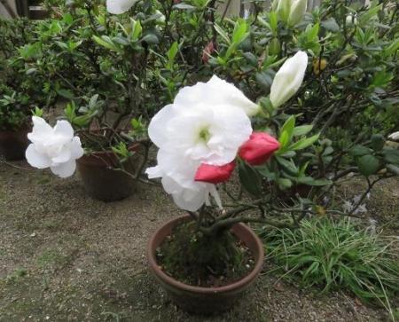 家に咲く花 ヒヨドリ 047