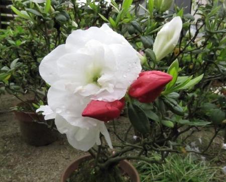 家に咲く花 ヒヨドリ 044