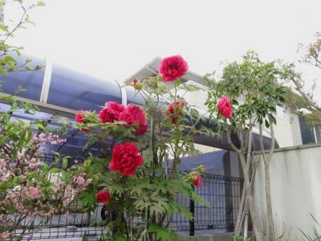 家に咲く花 ヒヨドリ 111