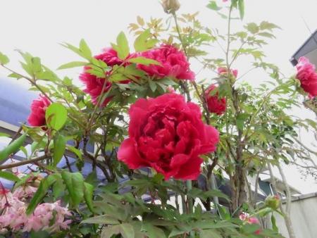 家に咲く花 ヒヨドリ 104