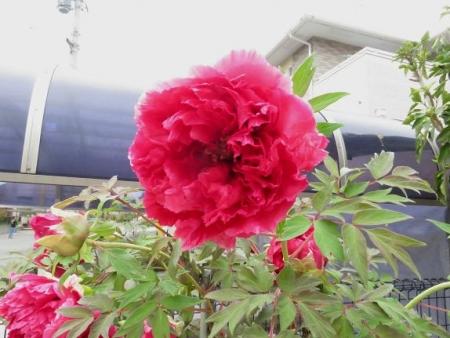 家に咲く花 ヒヨドリ 101