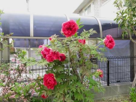 家に咲く花 ヒヨドリ 099