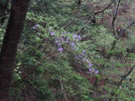 カラ迫岳山開き 白いリンドウ 217