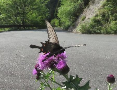 蝶の舞矢部の花と山開き 291