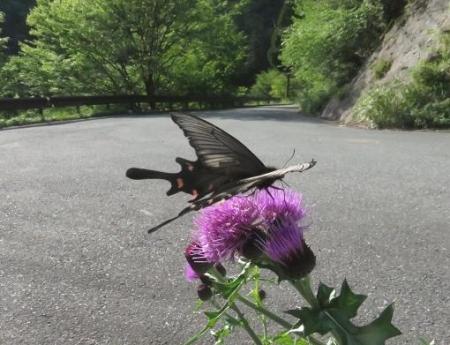 蝶の舞矢部の花と山開き 290