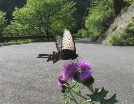 蝶の舞矢部の花と山開き 289