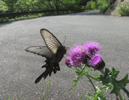 蝶の舞矢部の花と山開き 299