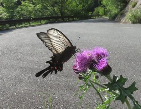 蝶の舞矢部の花と山開き 300