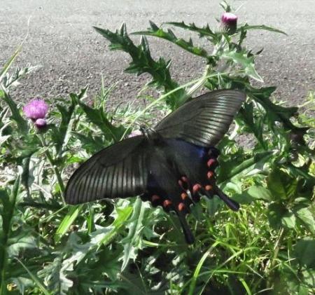 蝶の舞矢部の花と山開き 268