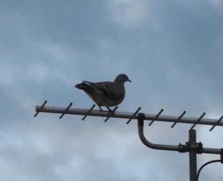 朝の野鳥 007