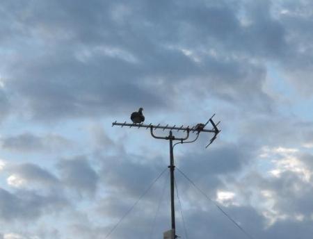 朝の野鳥 004