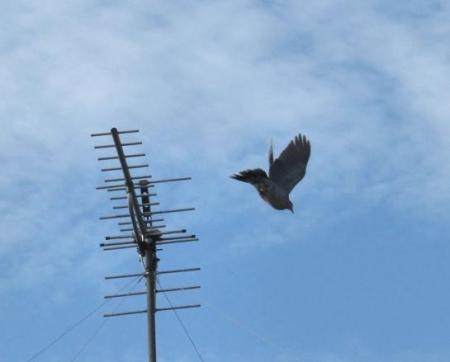 朝の野鳥 026