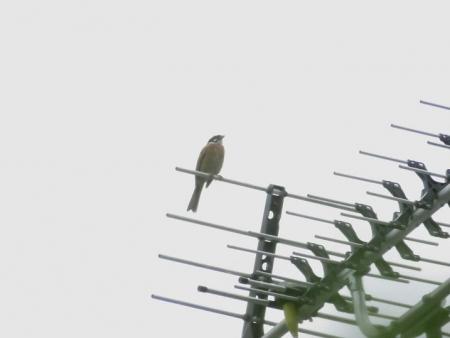 朝の野鳥 054