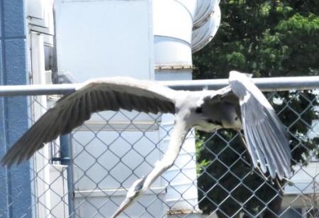 朝の野鳥 101