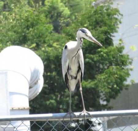朝の野鳥 099
