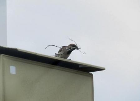 スズメの巣 003