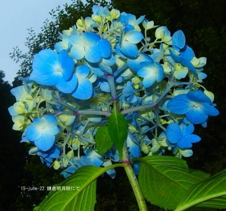 名月院の紫陽花