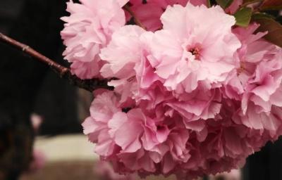 緋桜:ひざくら